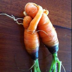 2 Carrots that grew together hugging